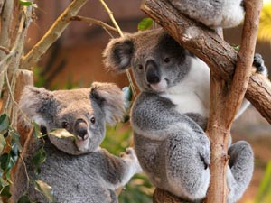 Koalas Beauval