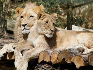 Lions ZooParc de Beauval