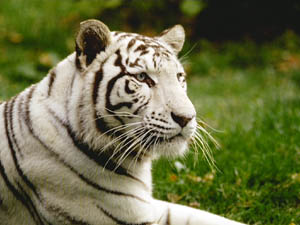 tigres blanc ZooParc de Beauval